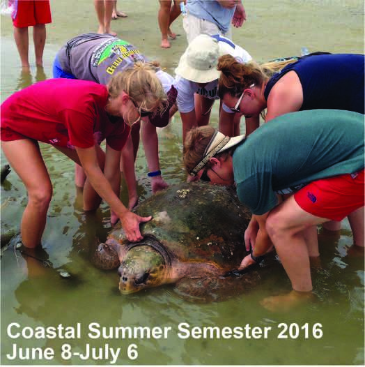 Students in the 2015 course helping a stranded sea turtle