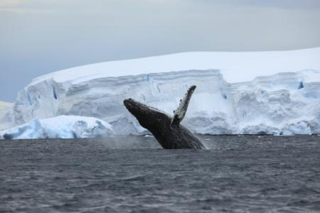 Humpback whale in Antarctica
